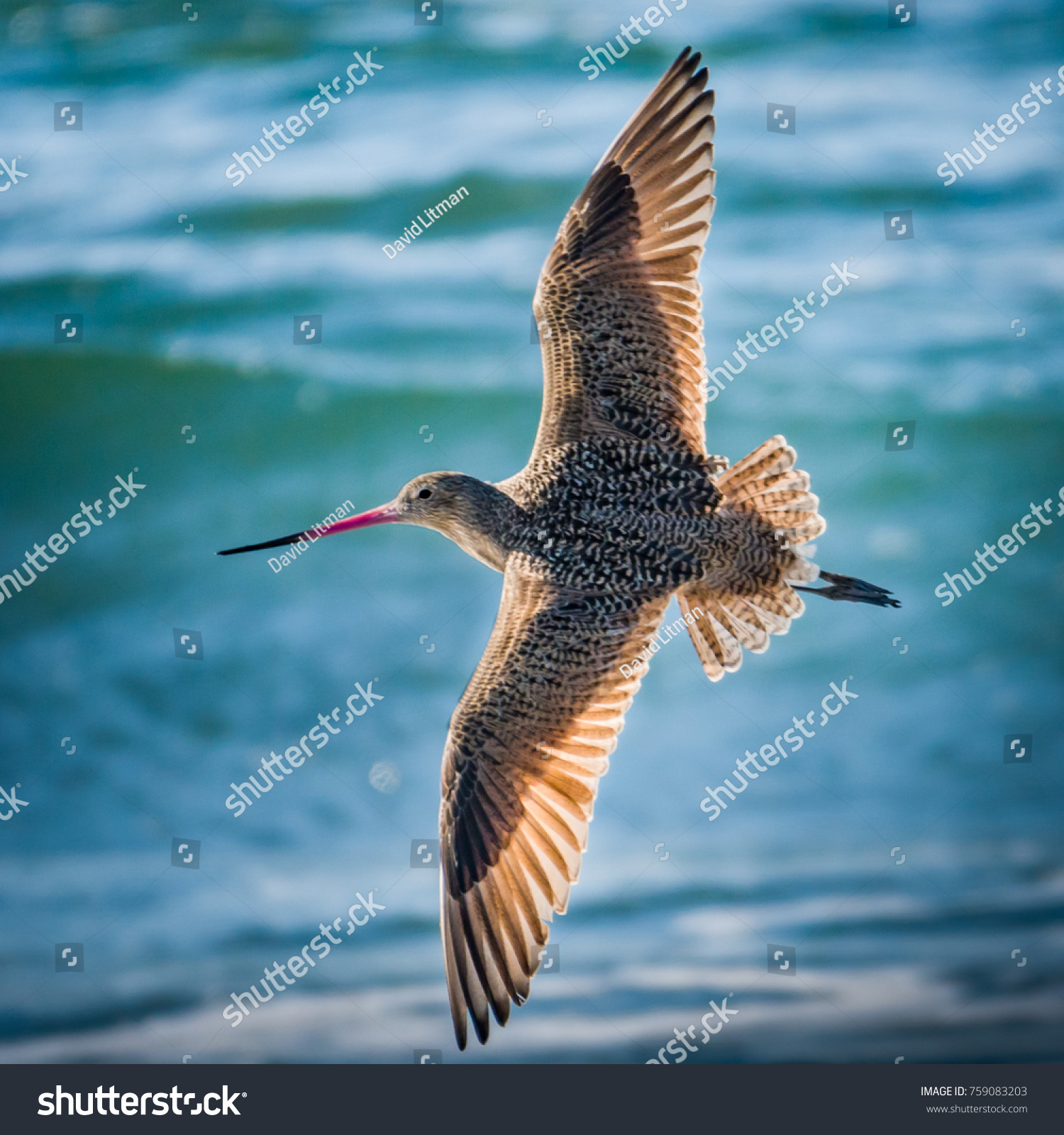 A Marbled Godwit (Limosa fedoa), a type of Sandpiper, flies through the sky with its wings spread wide, at the beach in Moss Landing, along the Pacific Coast in the Monterey Bay of central California.