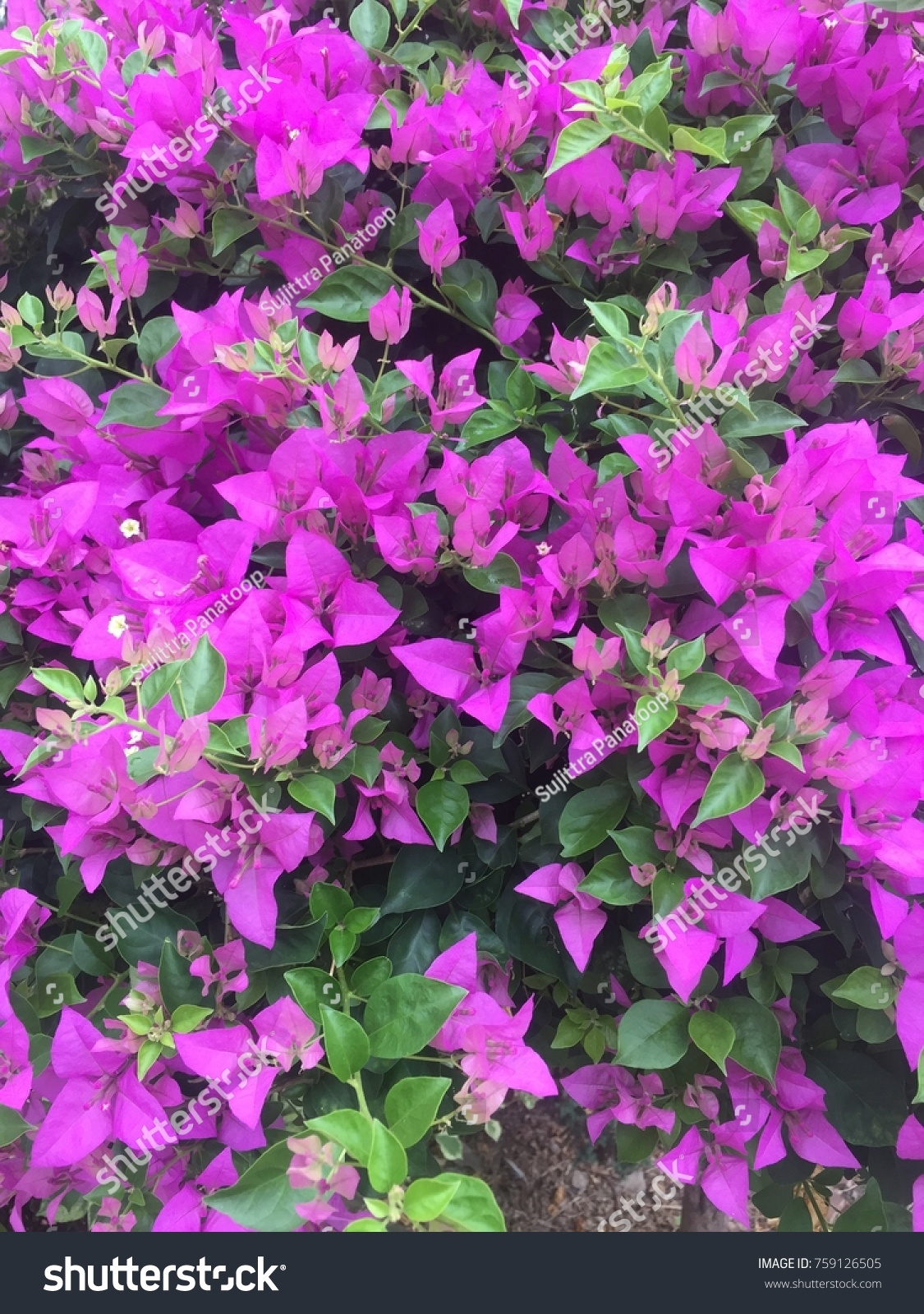 Pink Flowers Name Planted Bush Ornamental Stock Photo Edit Now