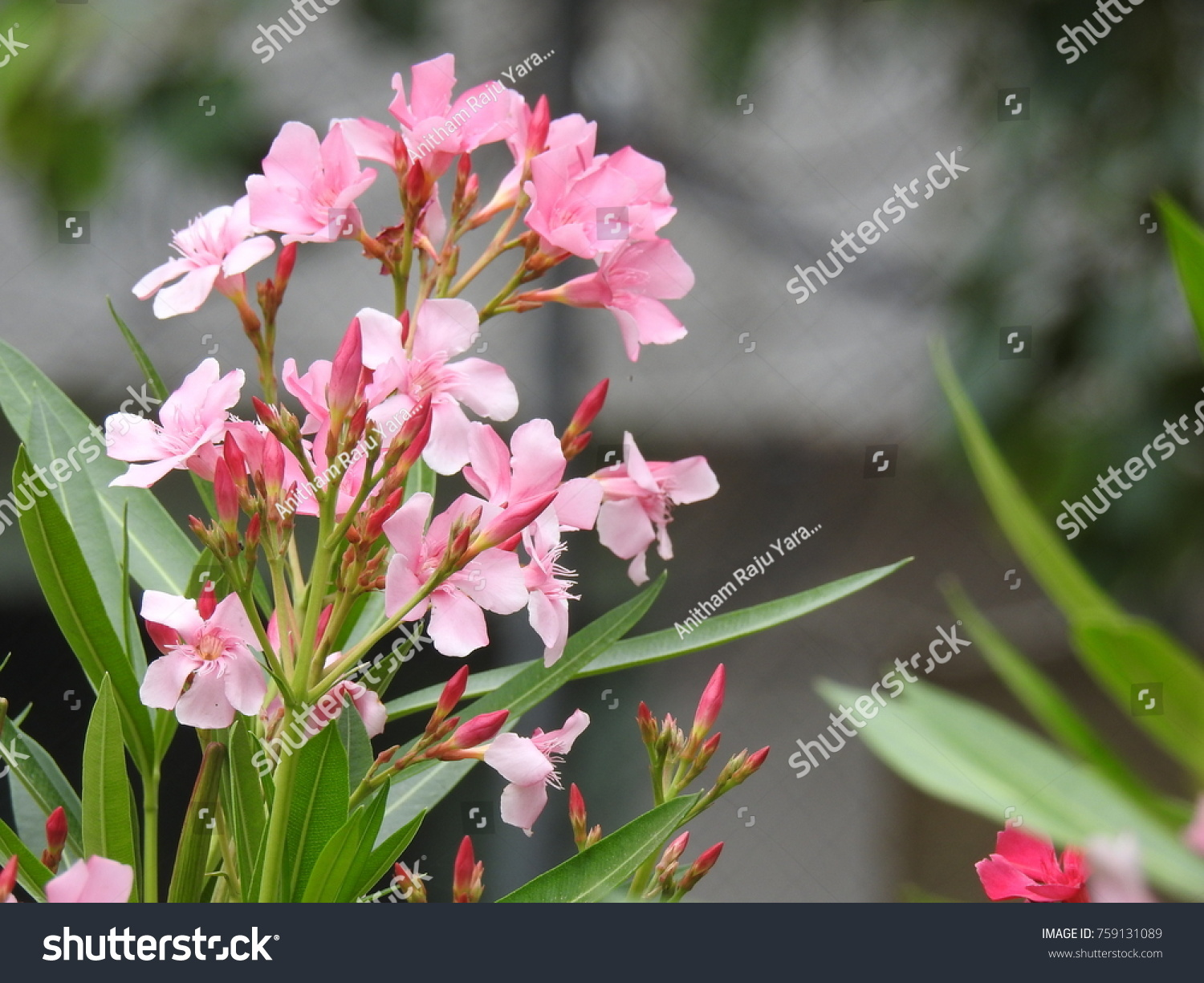 Nerium Oleander La Adelfa Light Pink Stock Photo Edit Now