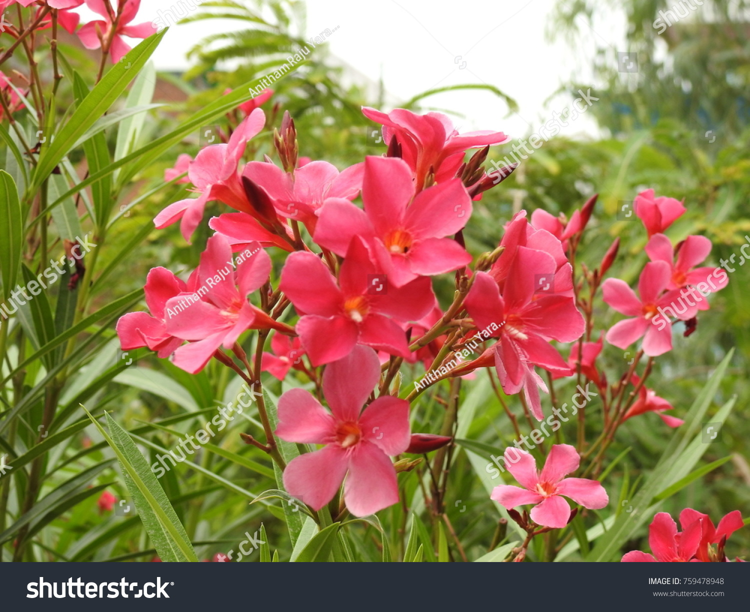 Nerium Oleander La Adelfa Pink Color Stock Photo Edit Now