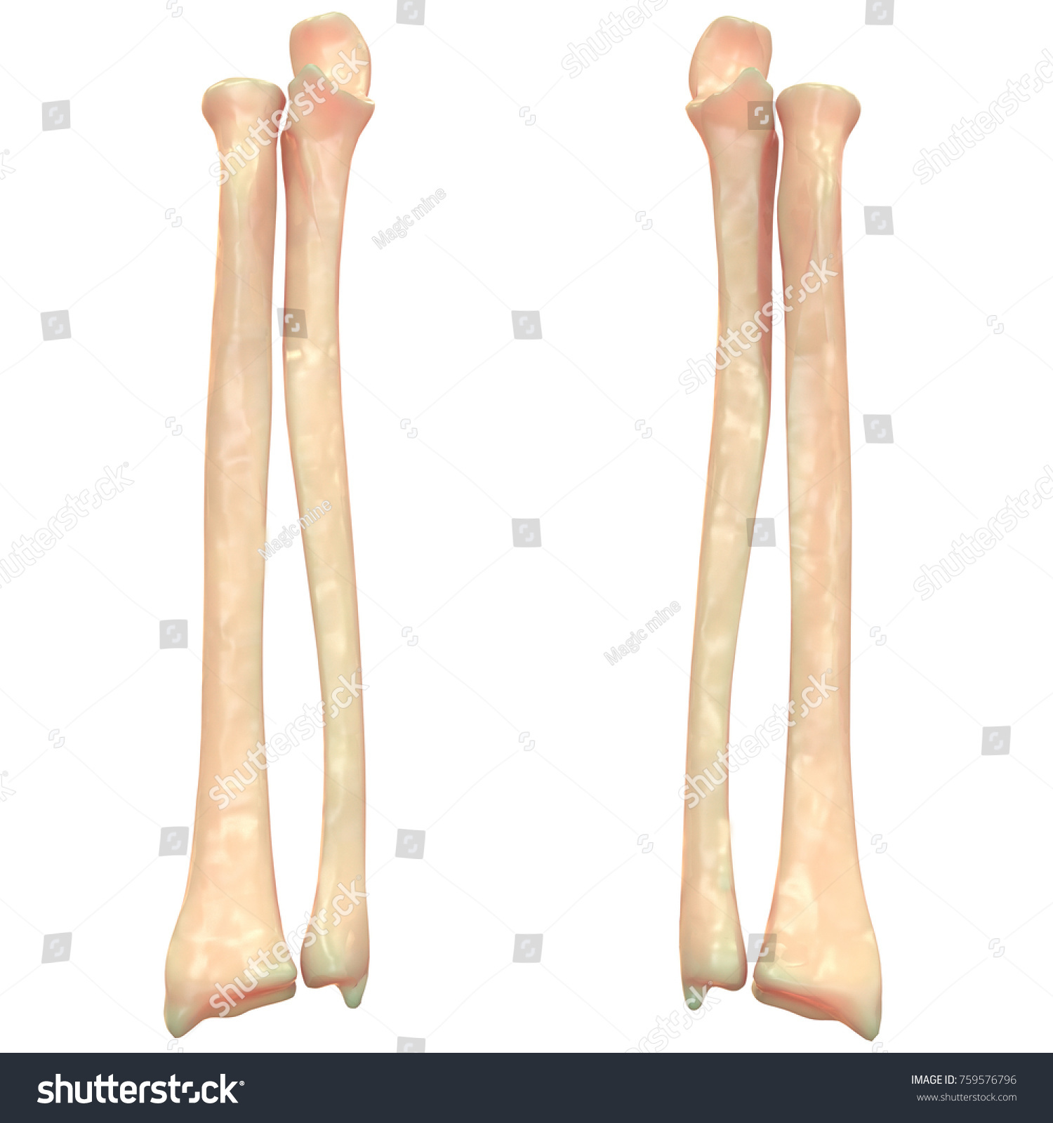 3 D Illustration Human Skeleton System Radius Stock Illustration ...