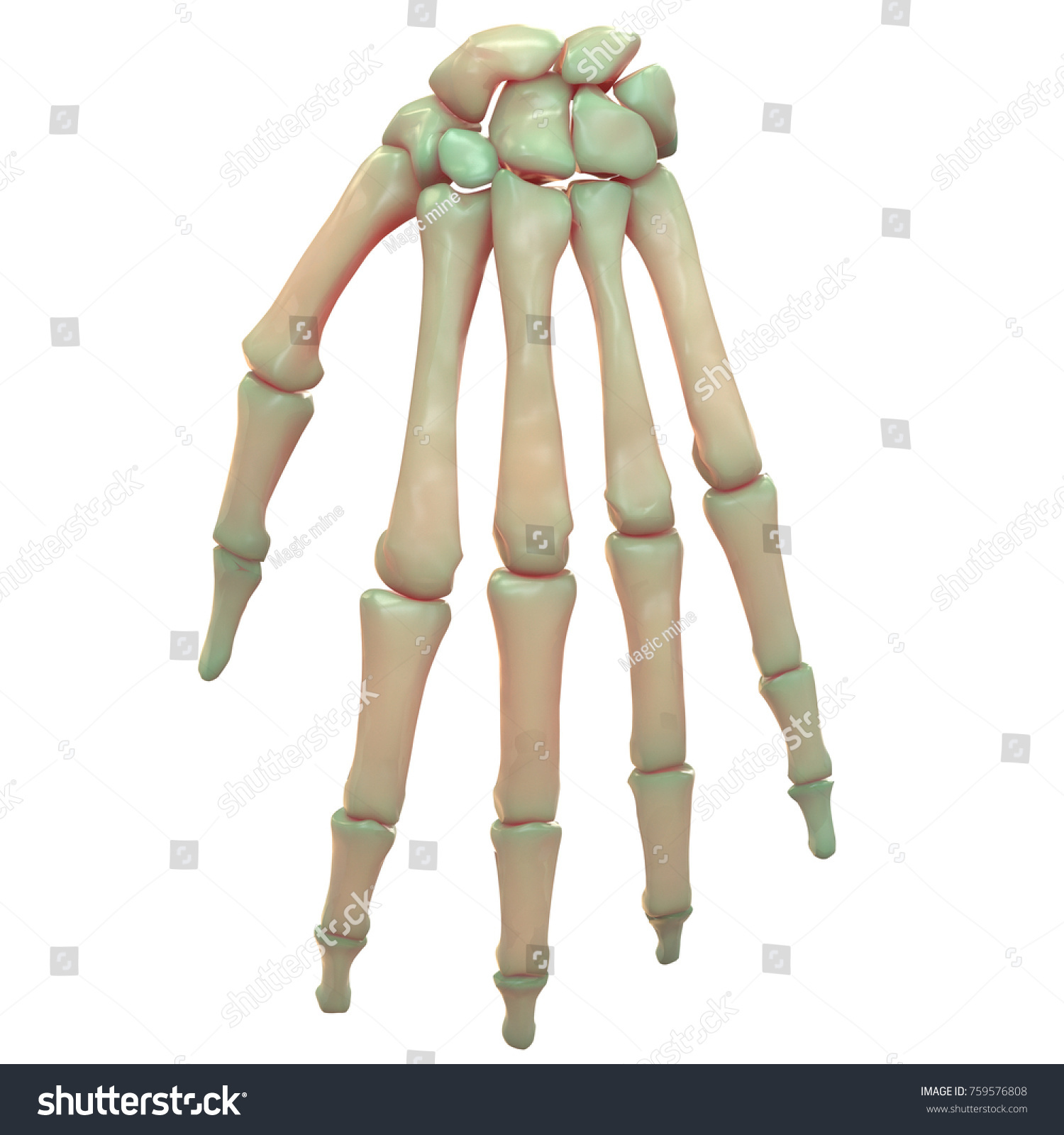 3 D Illustration Human Skeleton System Palm Stock Illustration ...