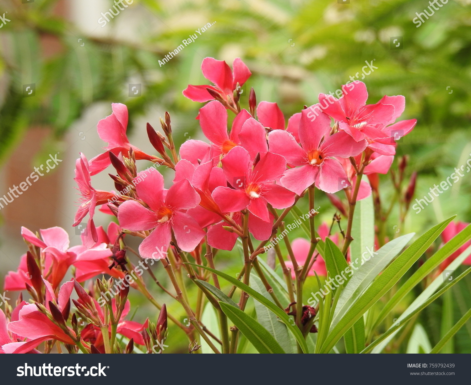 Nerium oleander la adelfa pink color stock photo edit now nerium oleander la adelfa pink color flowers it is a shrub or small tree mightylinksfo