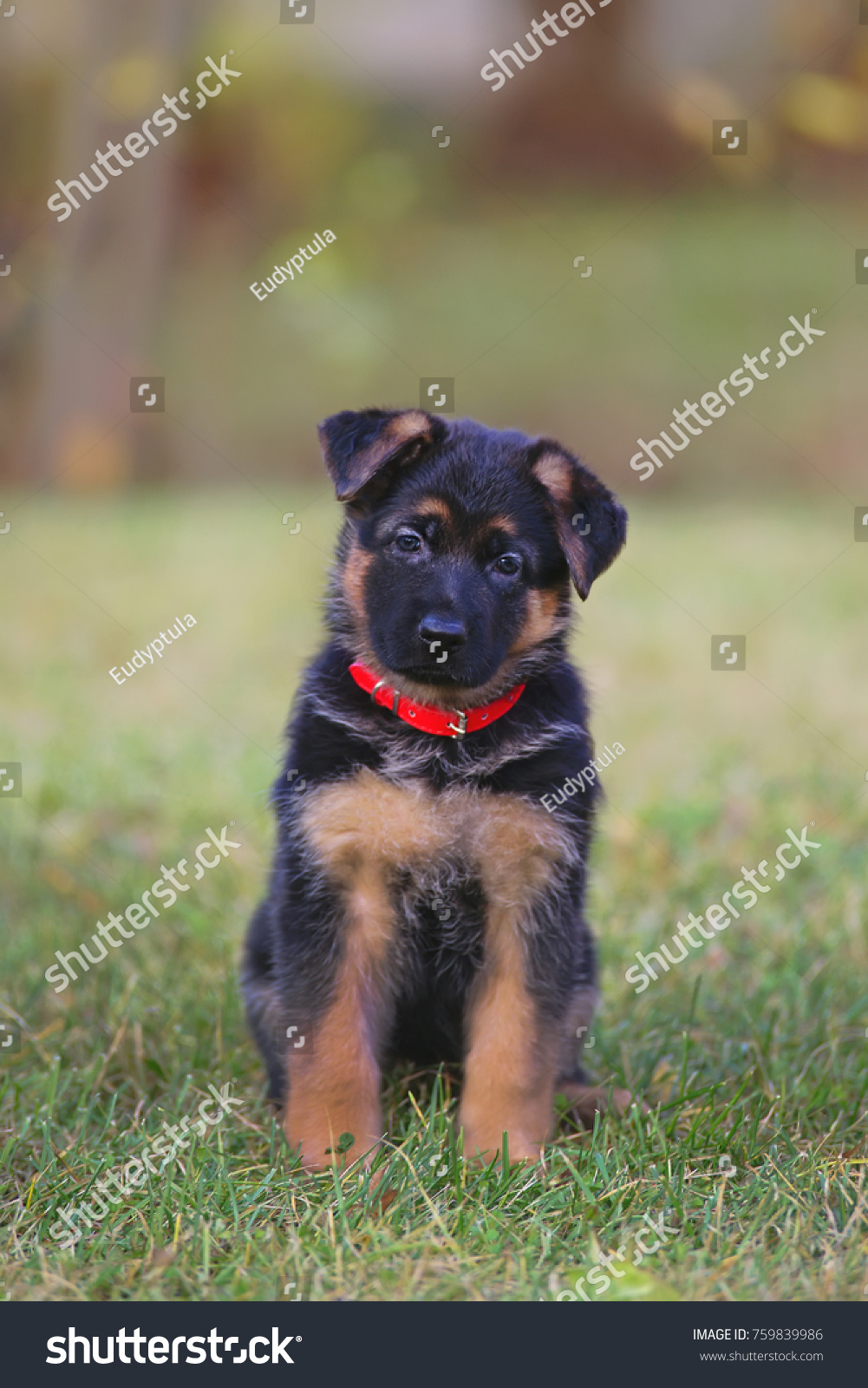 Cute Shorthaired German Shepherd Puppy Wearing Stock Photo Edit Now 759839986