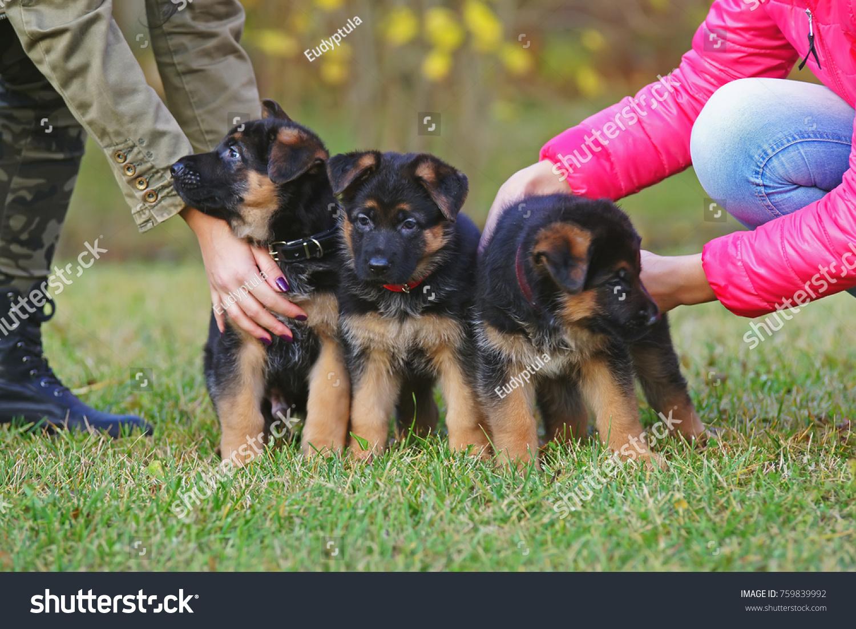 Three Shorthaired German Shepherd Puppies Collars Stock Photo Edit Now 759839992