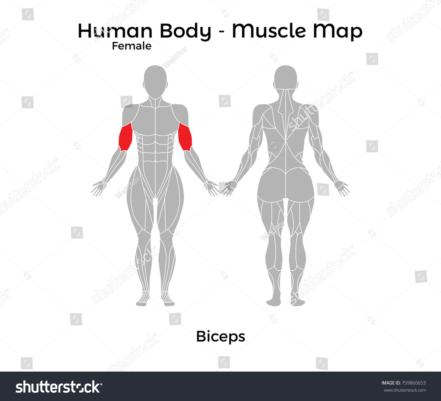 Female Human Body Muscle Map Biceps Stock Vector Royalty Free