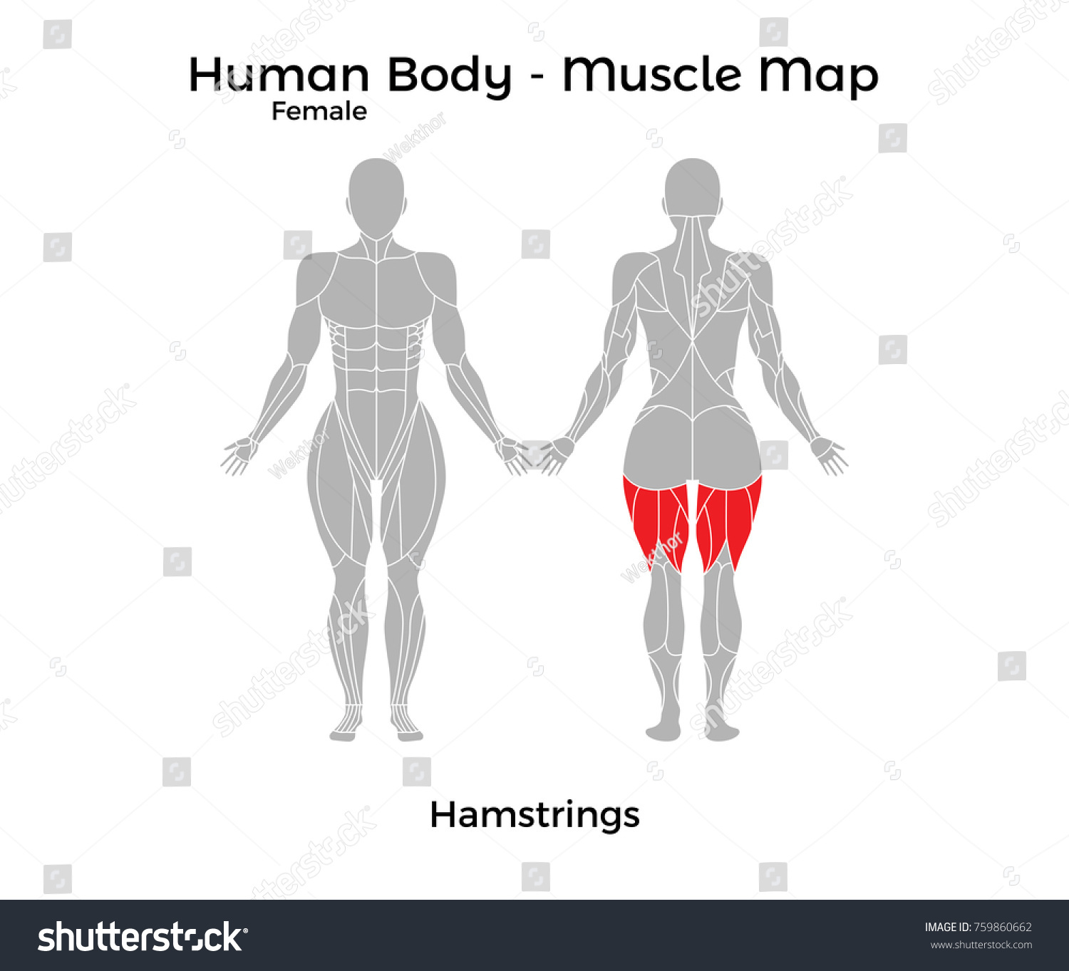 Female human body muscle map hamstrings stock vector 759860662 female human body muscle map hamstrings vector illustration eps10 pooptronica