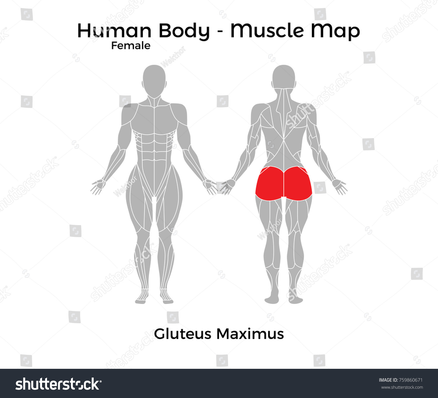 Female Human Body Muscle Map Gluteus Stock Vector Royalty Free