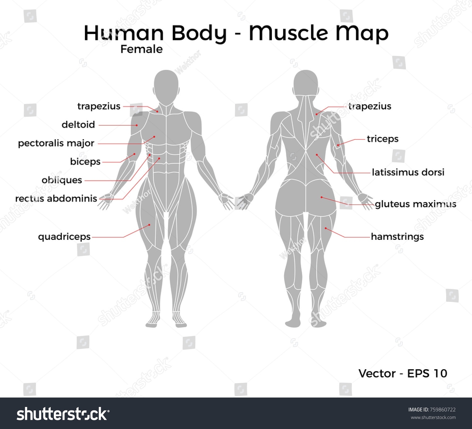 Female human body muscle map major stock vector royalty free female human body muscle map with major muscle names front and back vector ccuart Images
