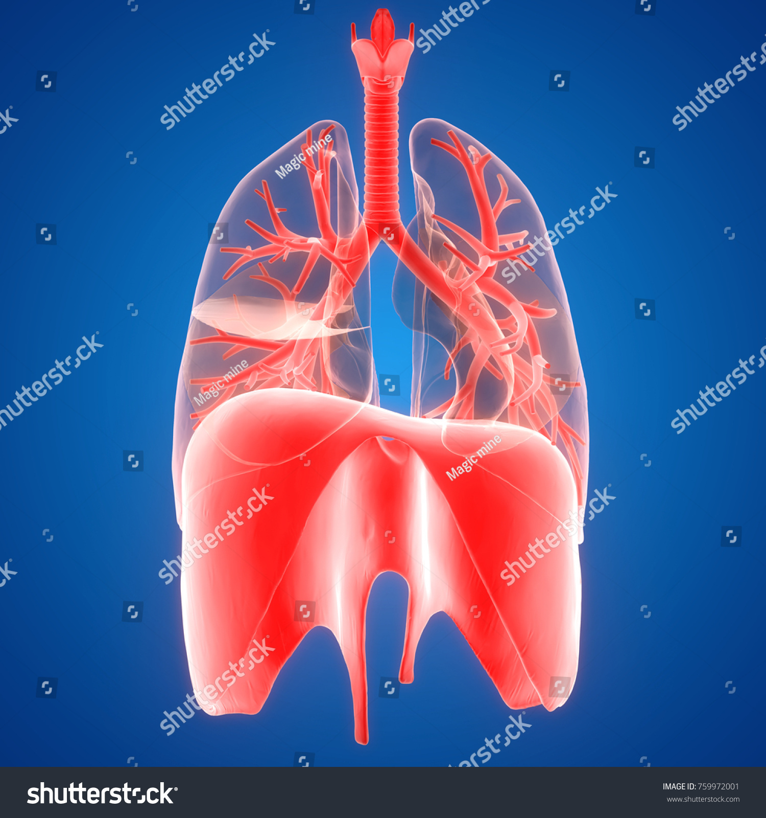 3 D Illustration Human Respiratory System Lungs Stock Illustration