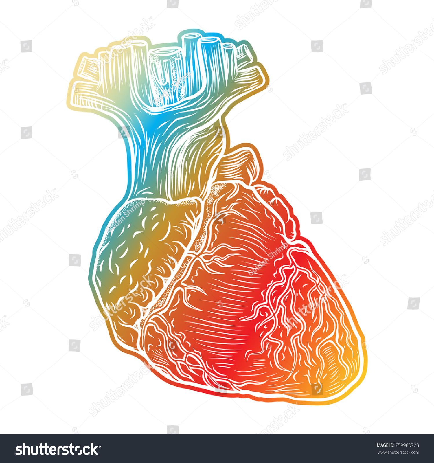 Red Human Heart Aorta Veins Arteries Stock Vector 759980728 ...