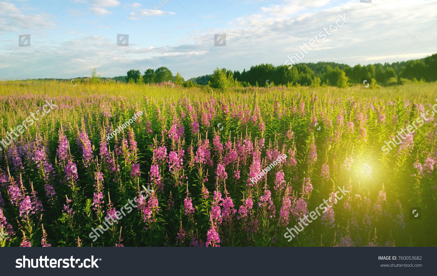 Beautiful field flowers ivantea suns rays stock photo edit now beautiful field of flowers ivan tea and the suns rays in summer warm day izmirmasajfo
