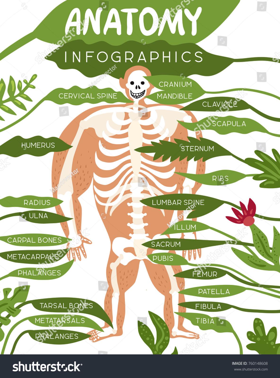 Skeleton Anatomy Infographics Layout Human Body Stock Vector