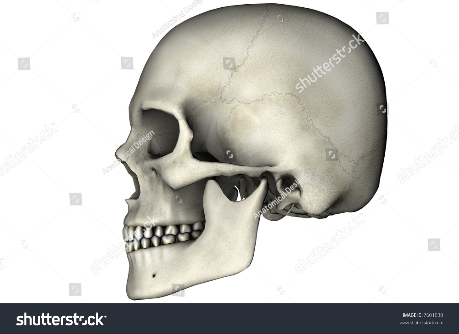 Human Skull Lateral Anatomical View 3 D Stock Illustration Royalty