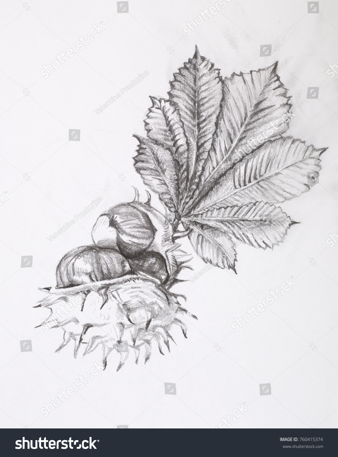How to draw a chestnut in pencil step by step
