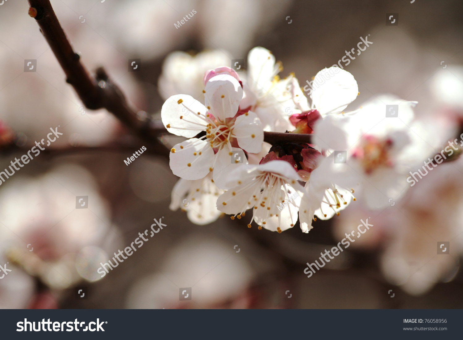 stock-photo-macro-image-of-two-cherry-fl
