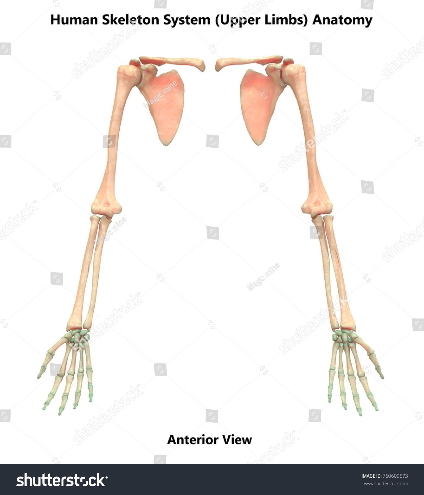 3 D Illustration Human Skeleton System Upper Stock Illustration ...