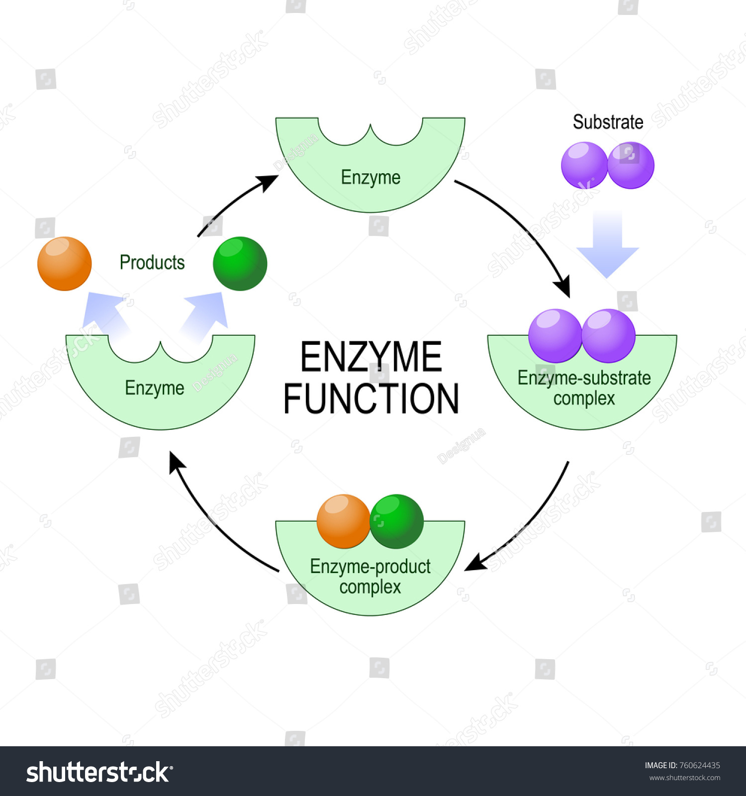 Enzyme function substrate product enzymeproduct complex stock enzyme function substrate product enzyme product complex and enzyme substrate complex pooptronica Images
