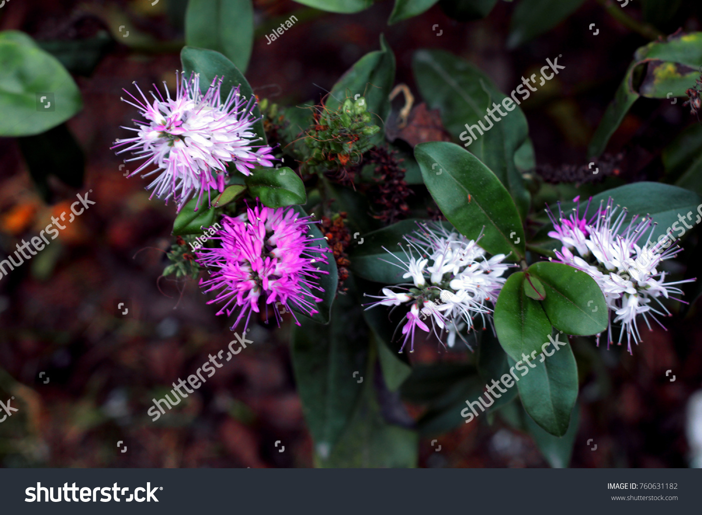 White Purple Hebe Veronica Flowers Stock Photo Edit Now 760631182