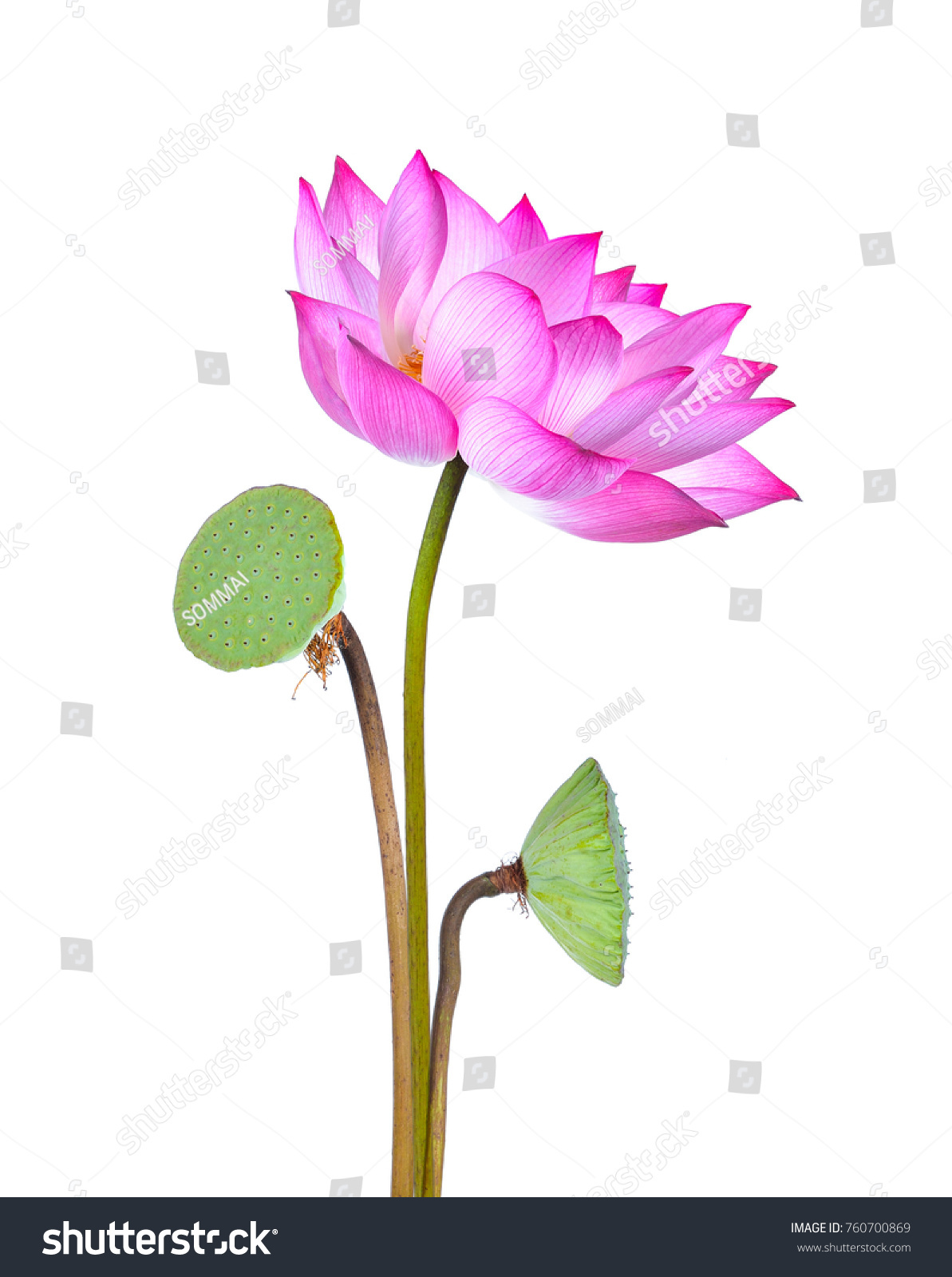 Lotus Flower Isolated On White Background Stock Photo Edit Now