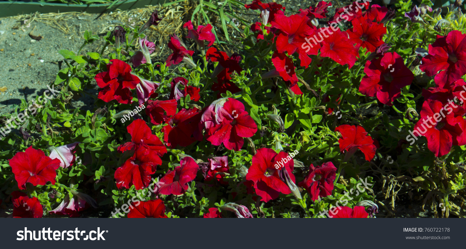 Cheerful Single Scarlet Red Flowers Annual Stock Photo Edit Now