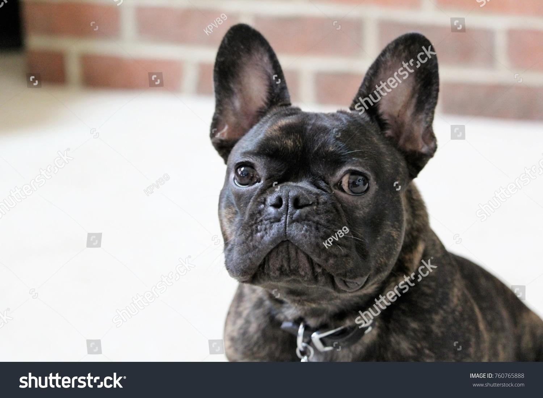 Brindle French Bulldog Puppy Portrait Stock Photo Edit Now 760765888