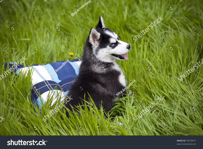 Sweet Little Baby Husky On Grass Stock Photo Edit Now 76079677