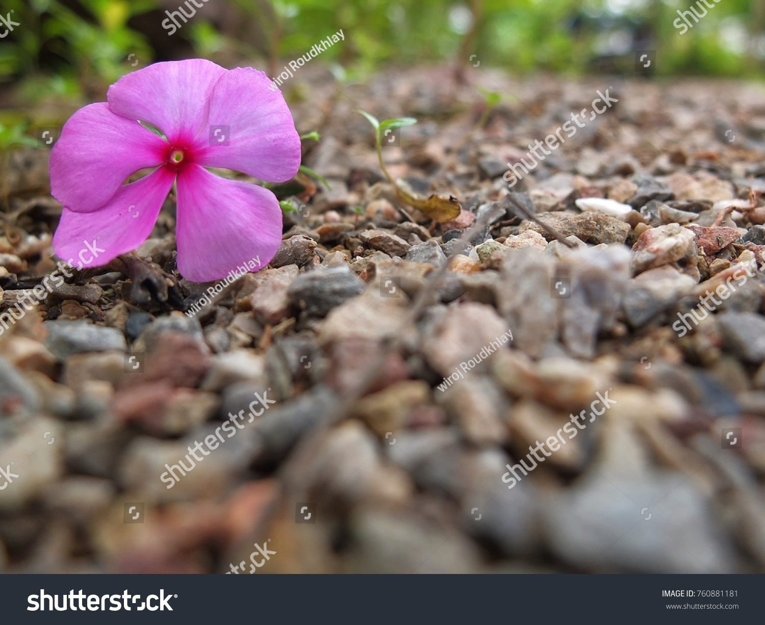 Catharanthus Roseus Flowers On Rocky Ground Stock Photo Edit Now