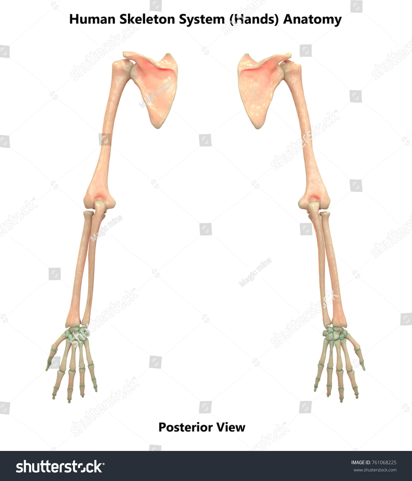 3 D Illustration Human Skeleton System Hands Stock Illustration ...