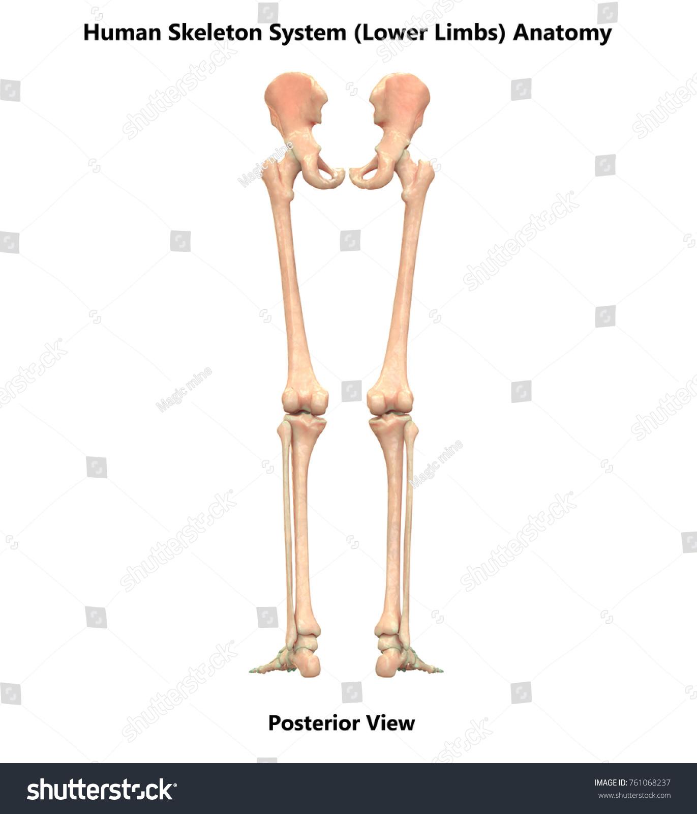 3 D Illustration Human Skeleton System Lower Stock Illustration ...