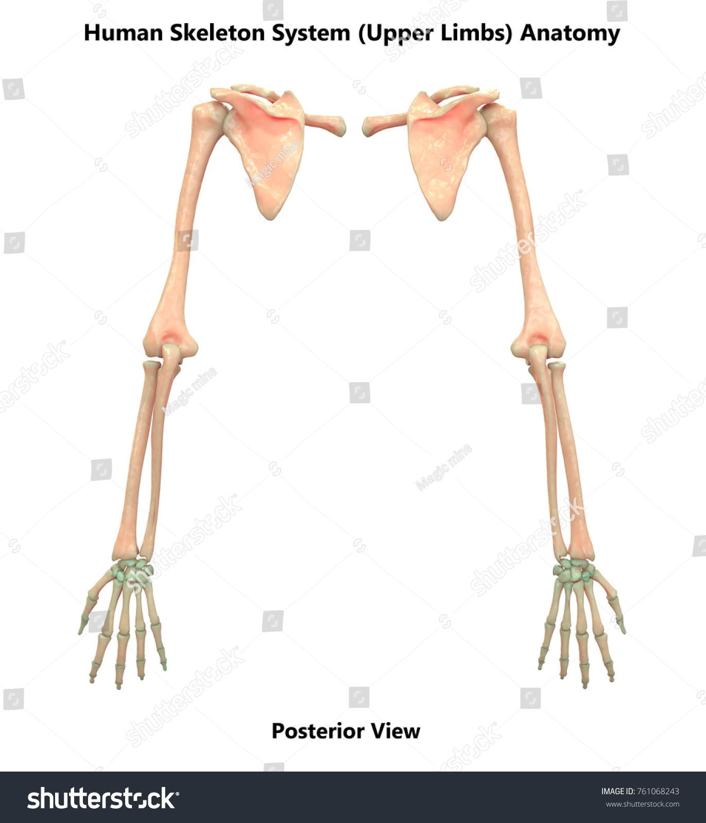 Royalty Free Stock Illustration Of 3 D Illustration Human Skeleton