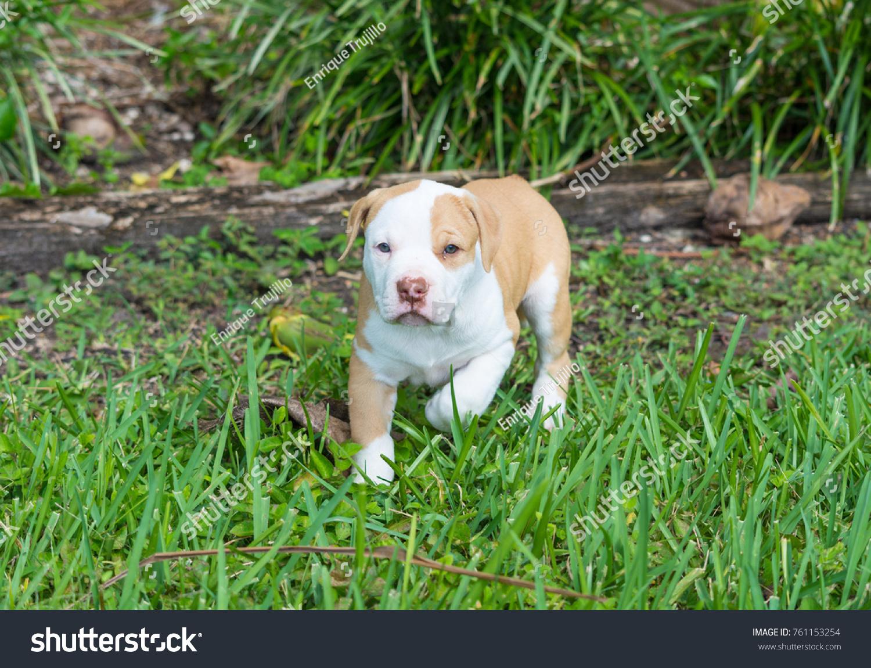 Beautiful Puppyamerican Bulldog Puppy Blue Eyes Stock Photo Edit Now 761153254
