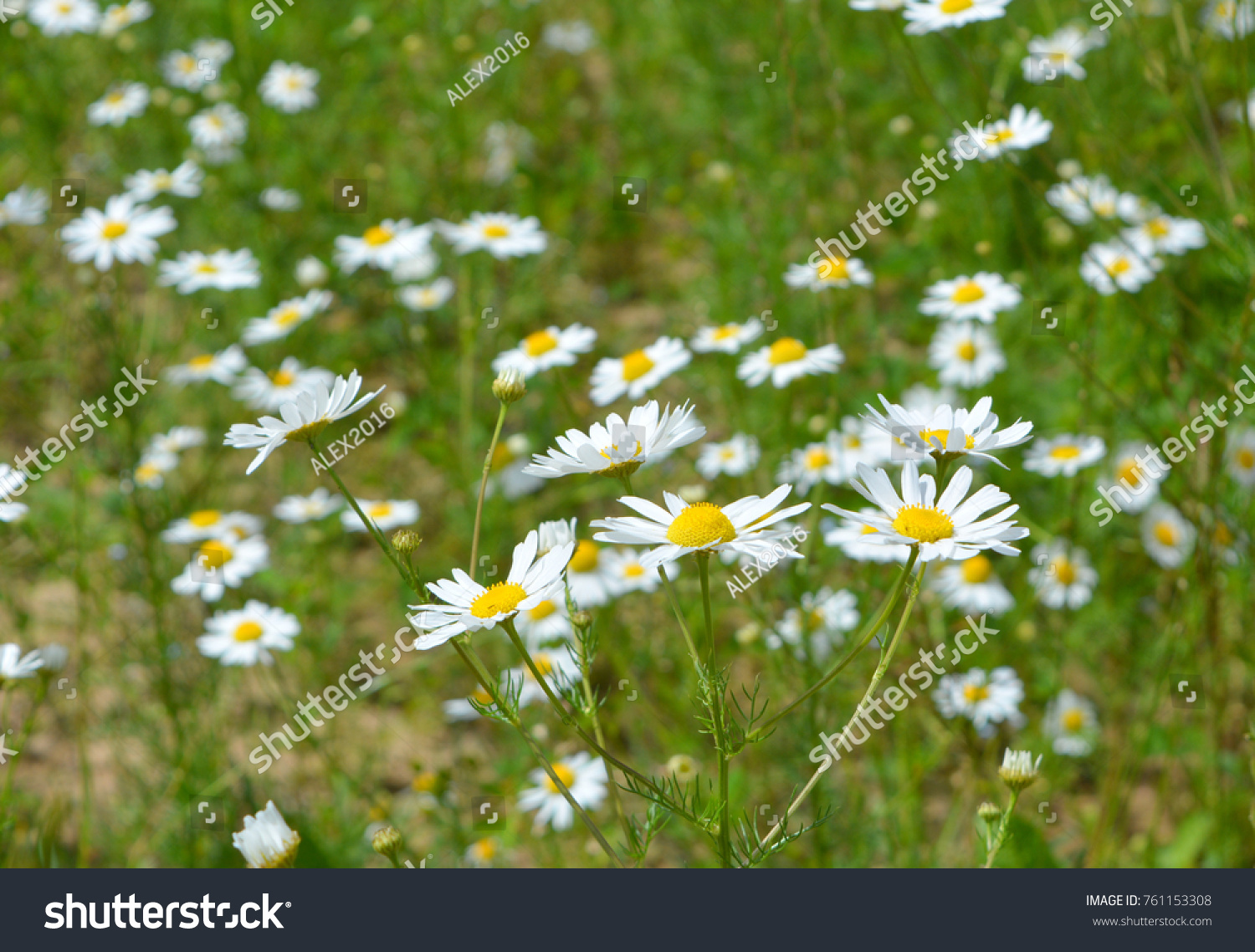Beautiful Summer Fresh Natural Landscape A Field Of Blooming Daisy