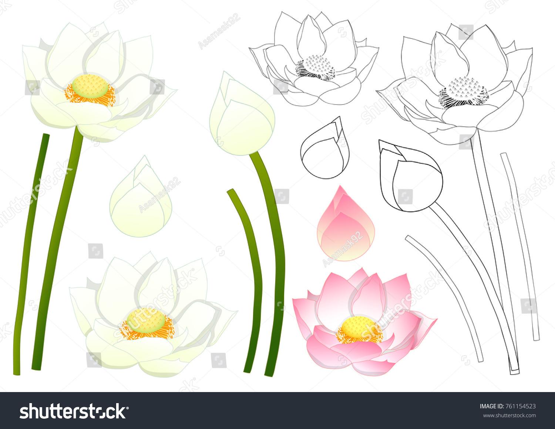 Nelumbo Nucifera Indian Lotus Sacred Lotus Stock Vector Royalty