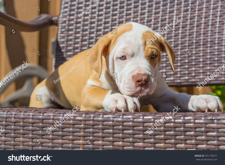Cute Puppy American Bulldog Puppy Coat Brown Stock Photo Edit Now