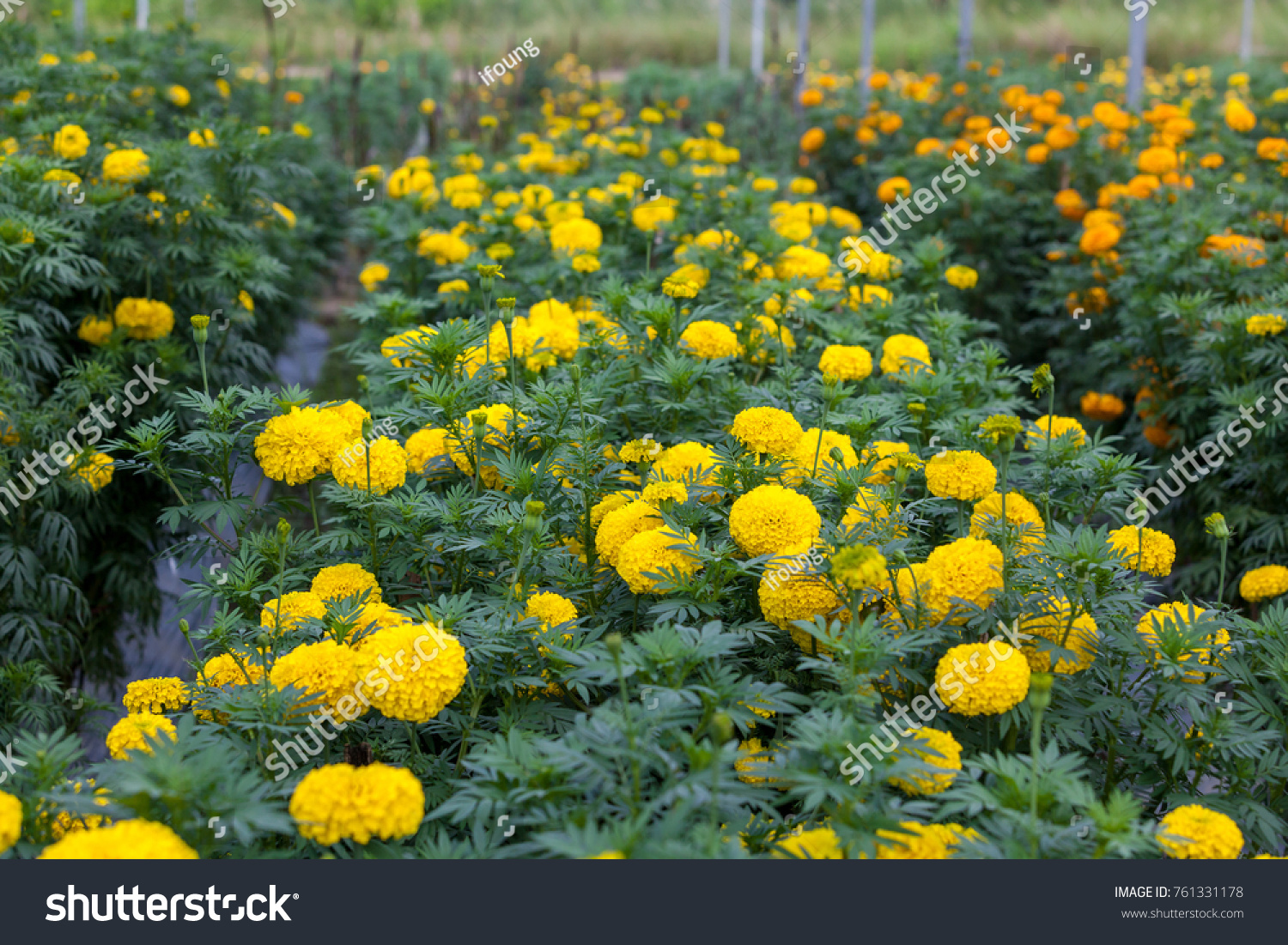 Maridgold Garden Beautiful Yellow Color Flower Tagetes Stock Photo