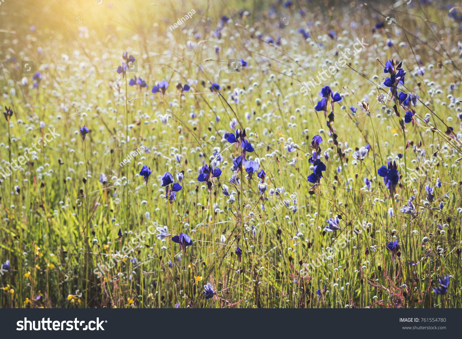 Spring Summer Small Purple Flowers White Stock Photo Royalty Free