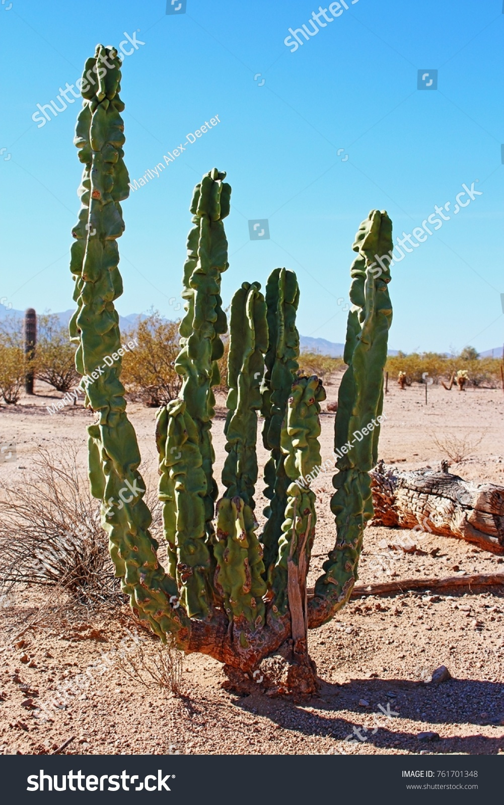 Totem pole cactus that is about 4 tall and 20 plus years old photographed