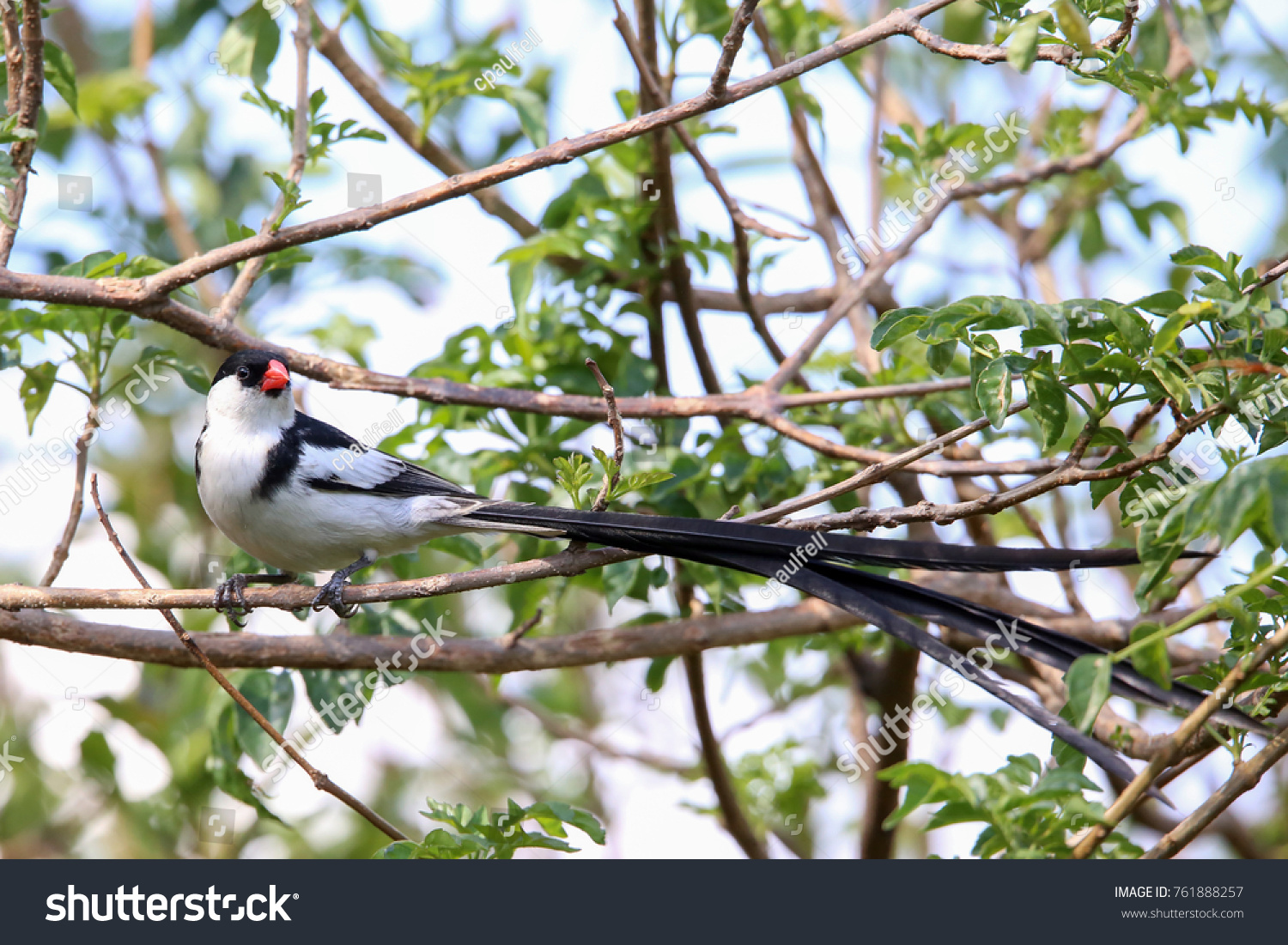 stock-photo-pin-tailed-whydah-bird-76188