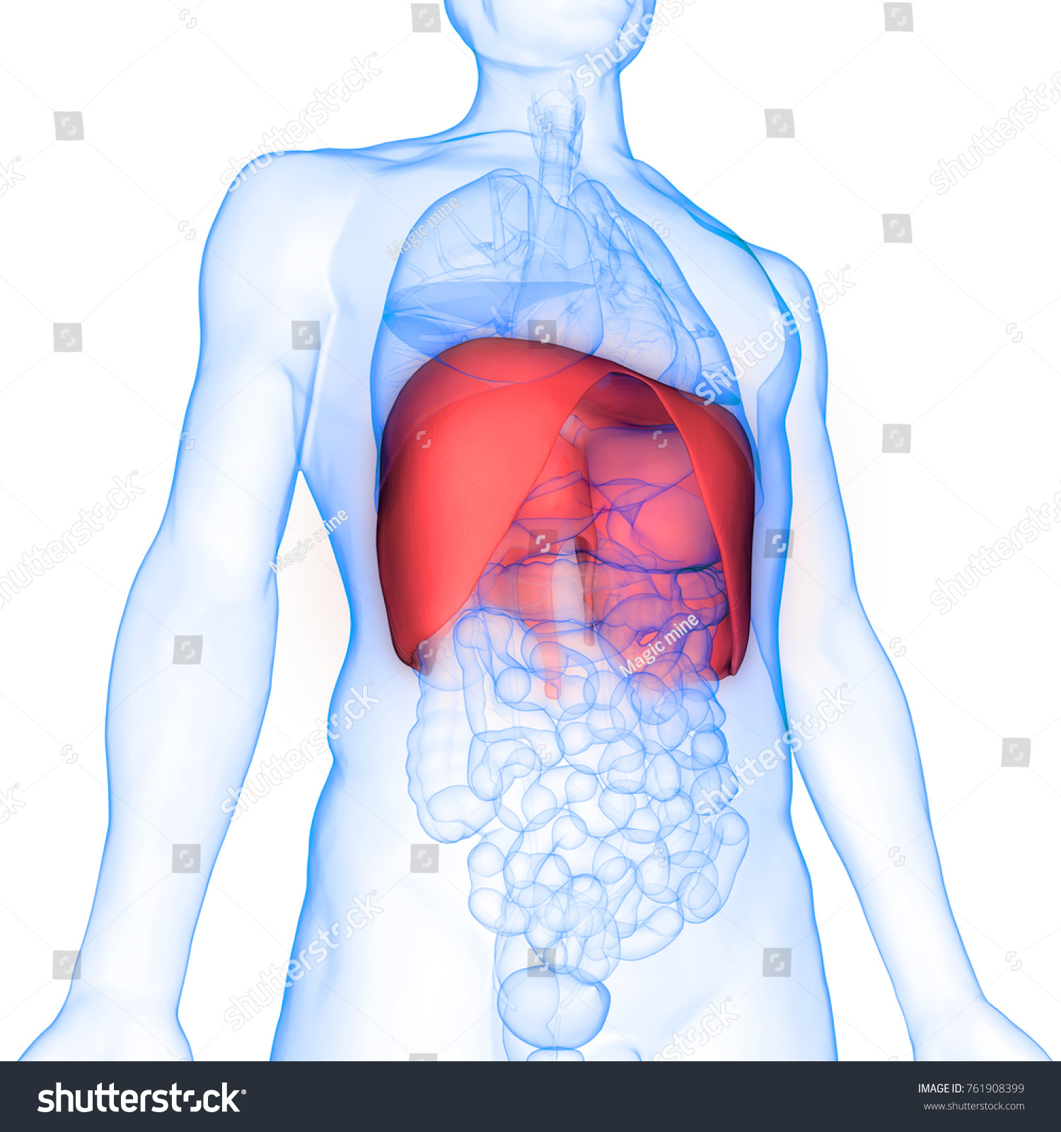 3 D Illustration Human Body Organs Diaphragm Stock Illustration