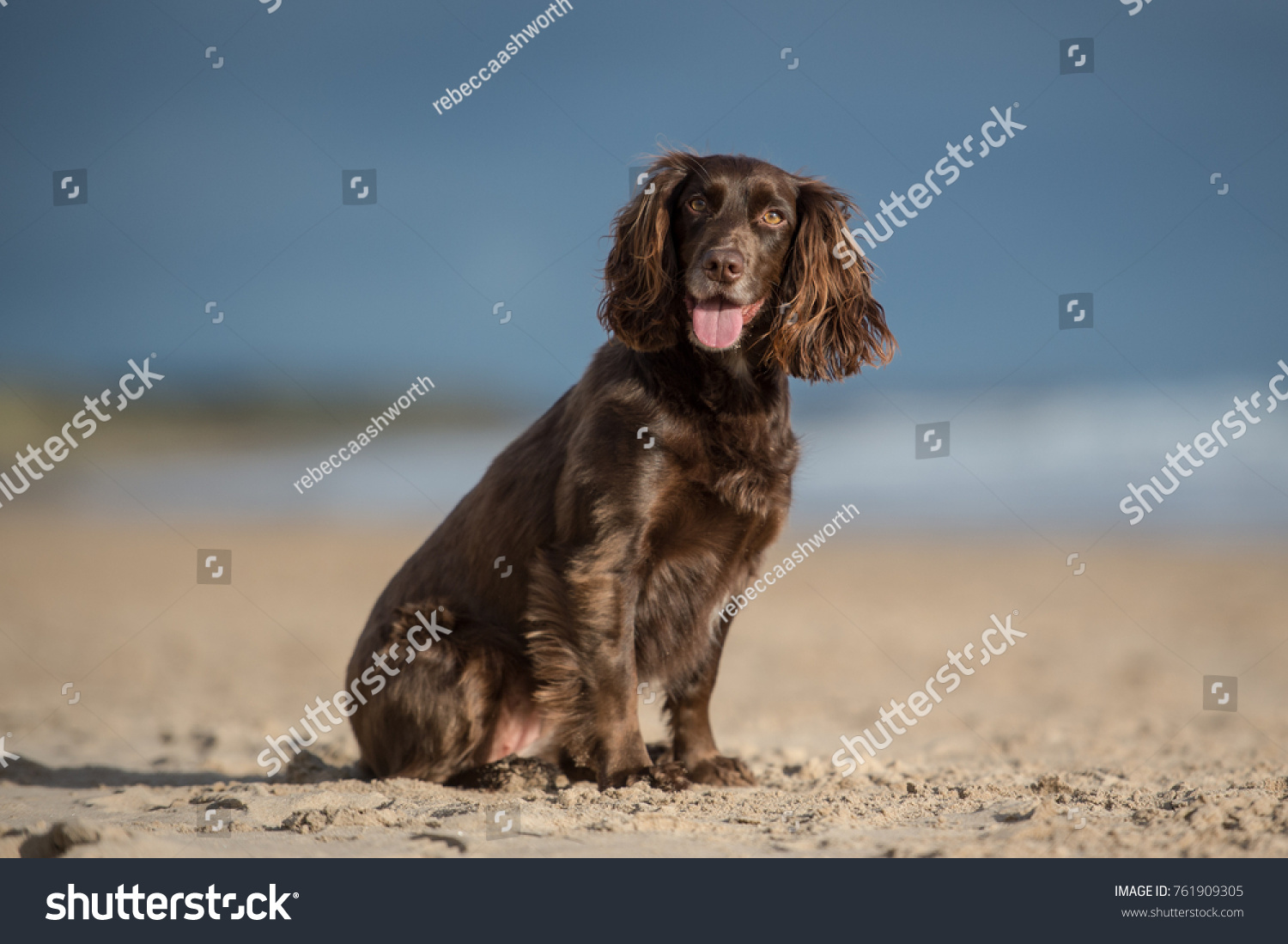 Working Cocker Spaniel #761909305