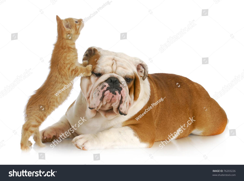 Dog Cat Playing English Bulldog Kitten Stock