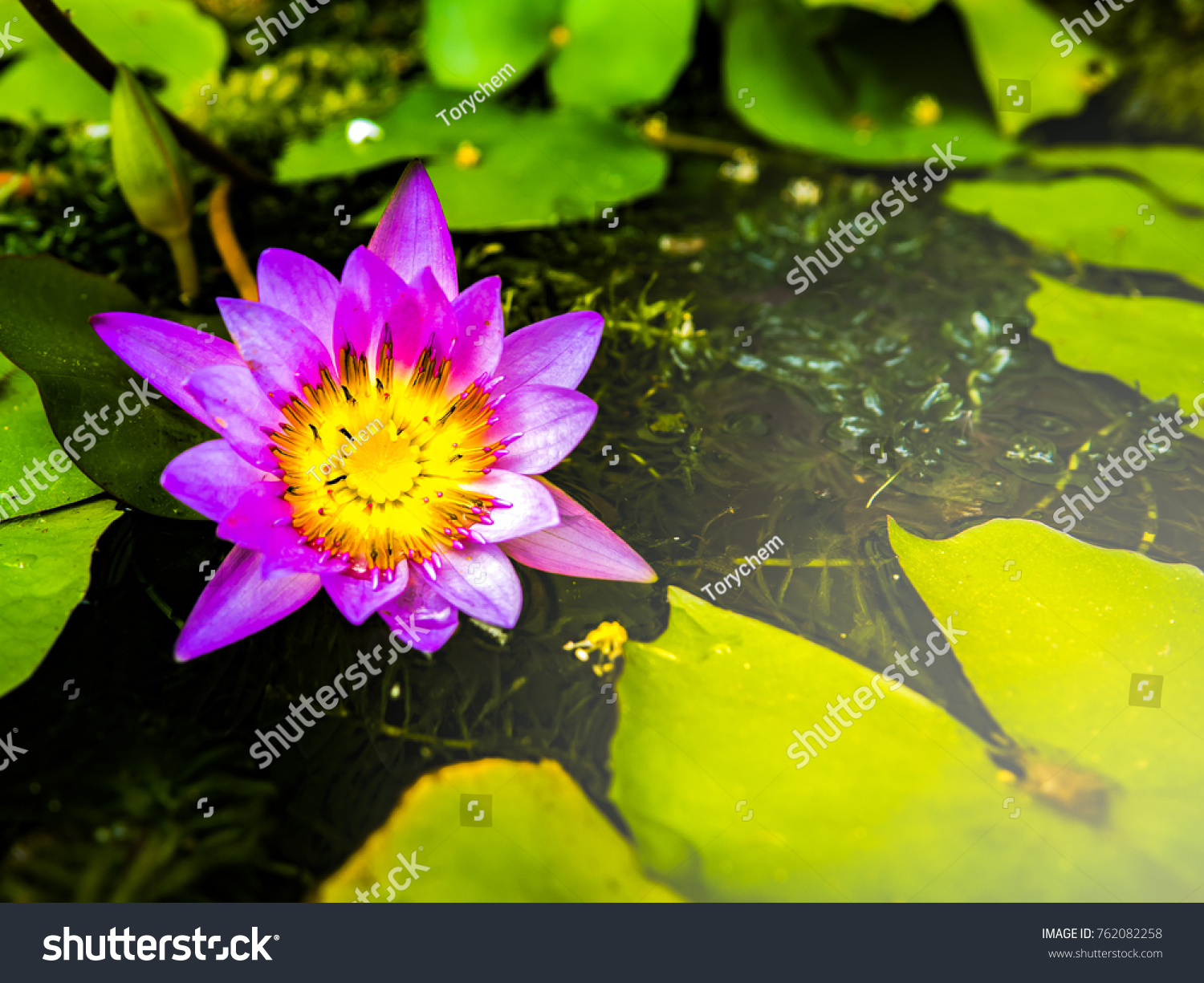 Water Lily Lotus Flower Lotus On Stock Photo Edit Now 762082258