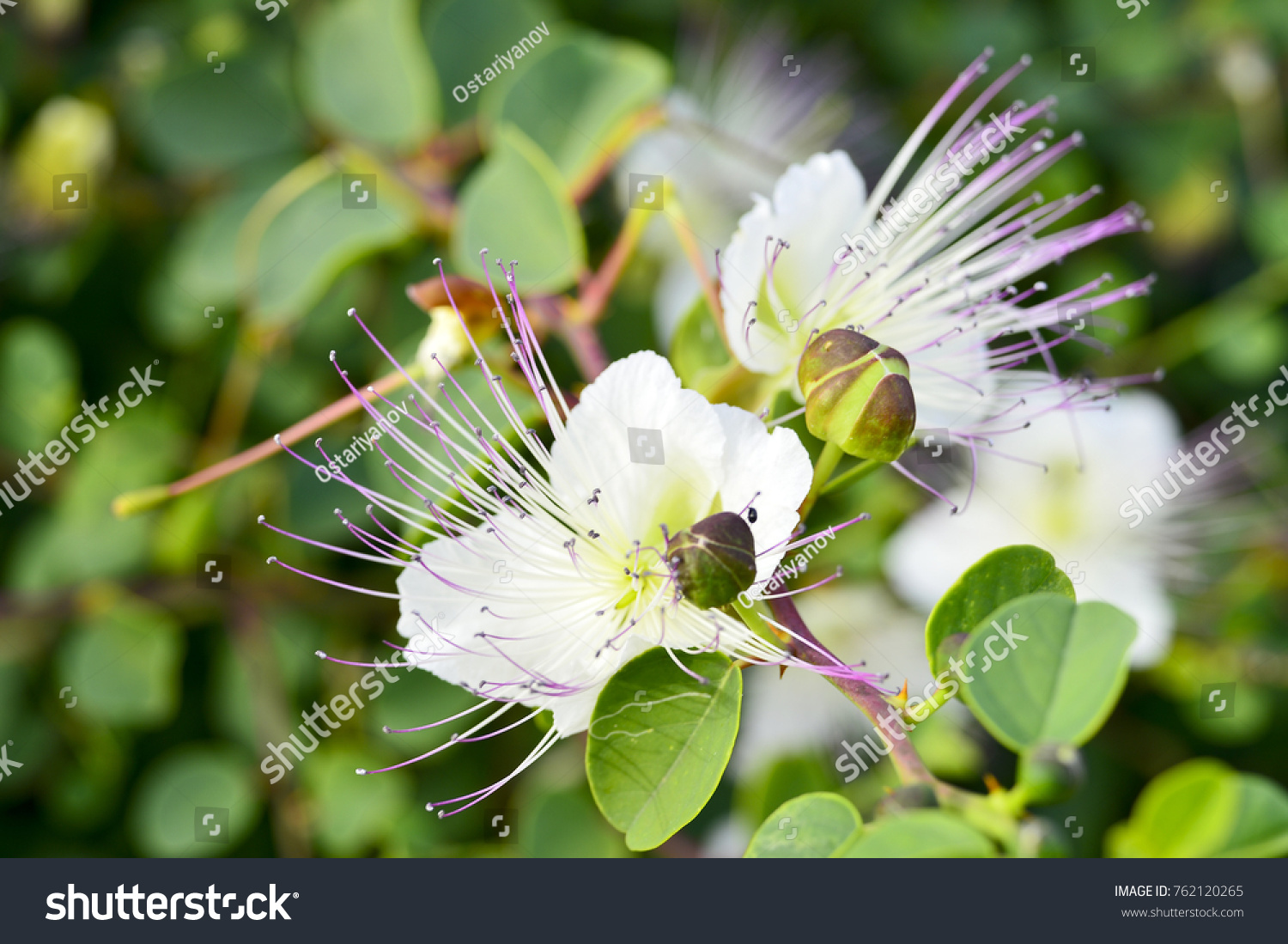Large White Flower Pink Stamens Shrub Stock Photo Edit Now