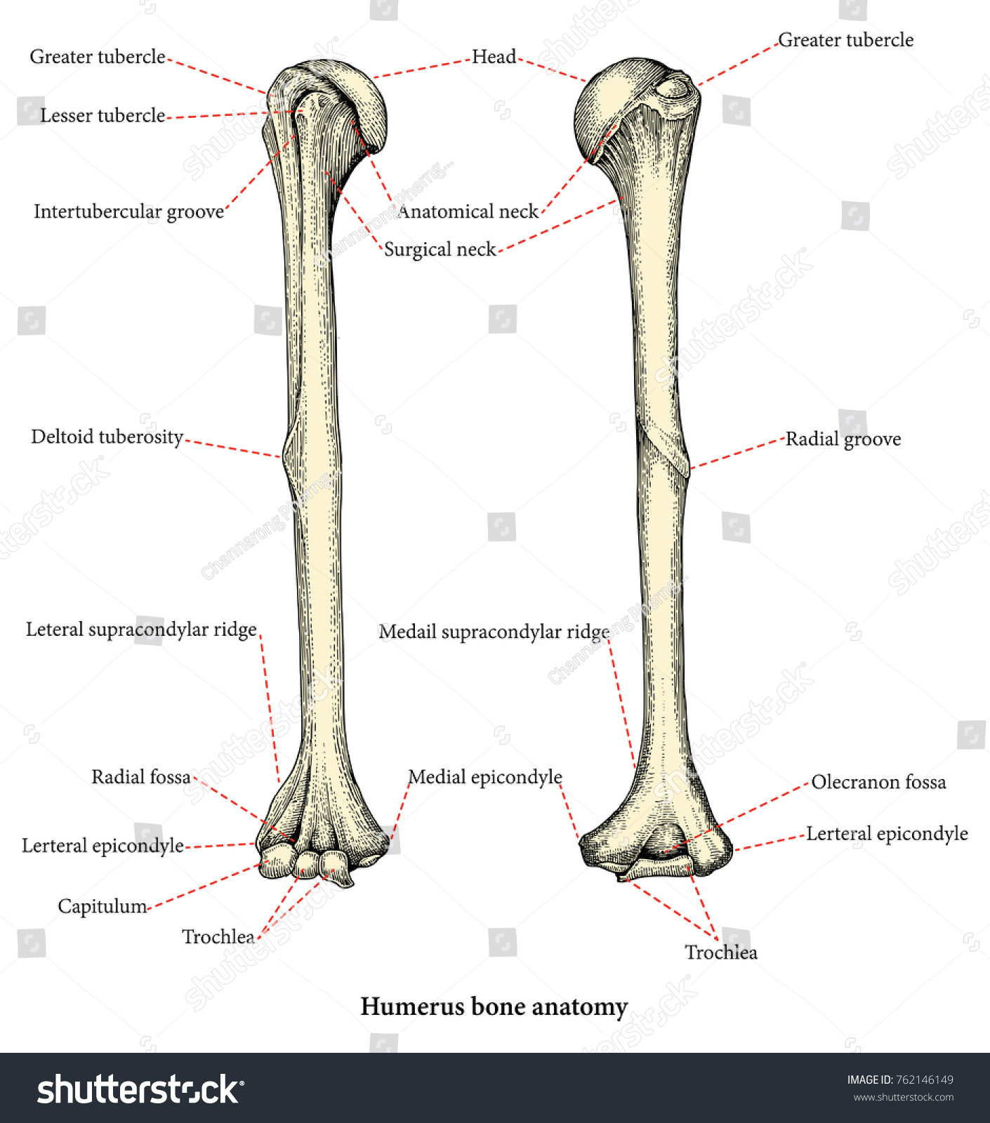 Anatomy Upper Human Arm Bones Hand Stock Vector Royalty Free