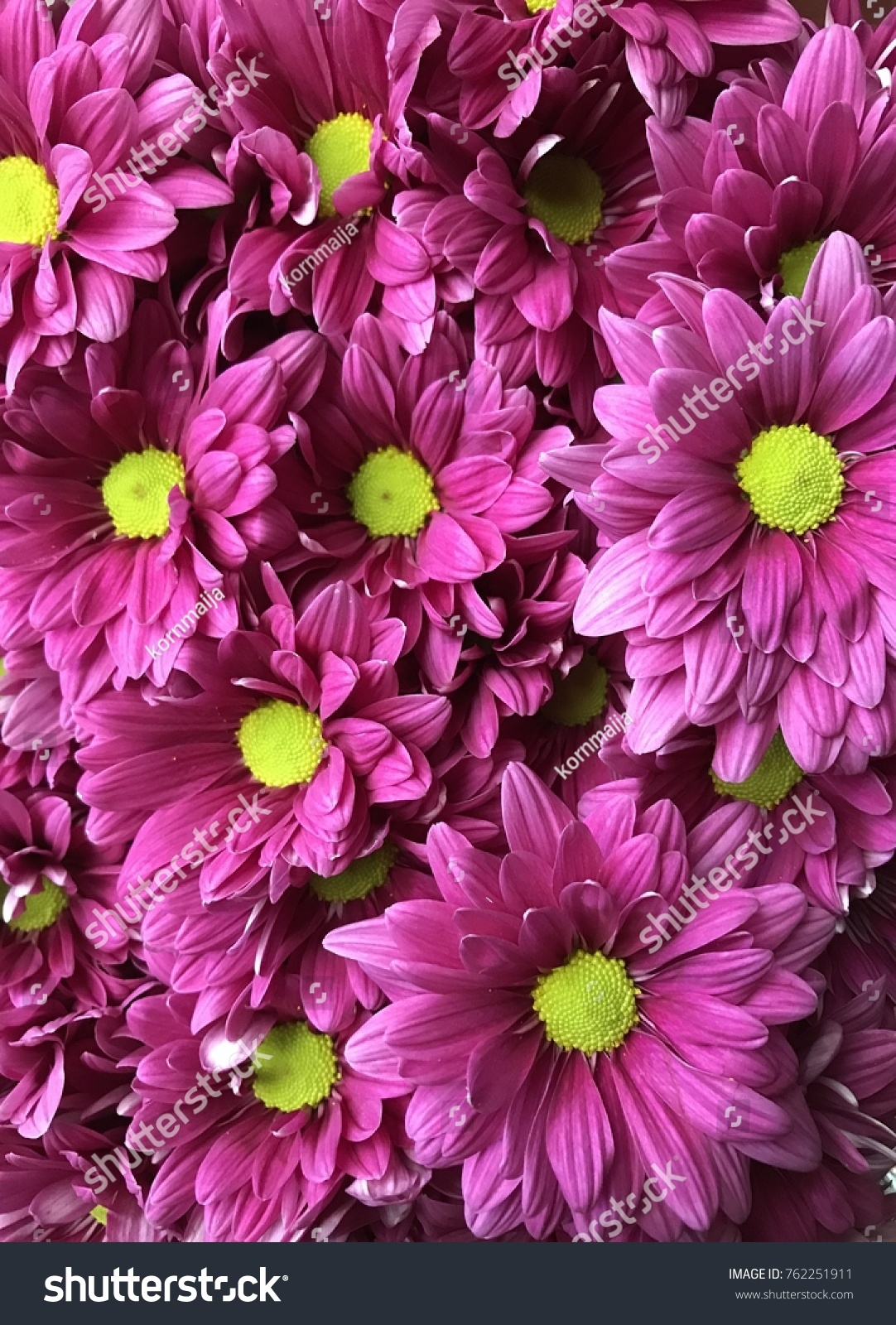 Chrysanthemums Flower Flower Autumn Pink Flower Stock Photo Edit