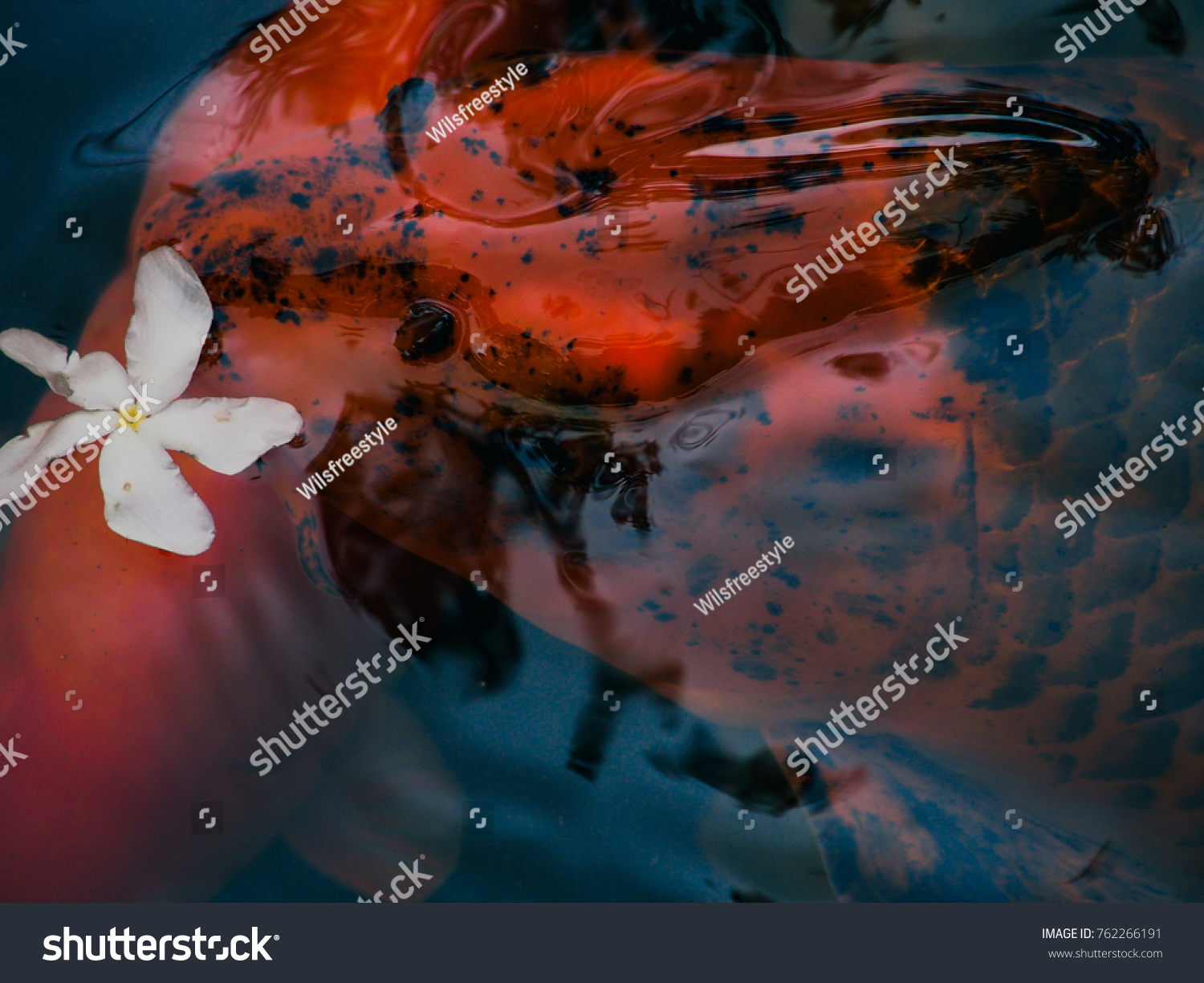 Coy Fish Hawaii Japanese Temple Oahu Stock Photo (Royalty Free ...