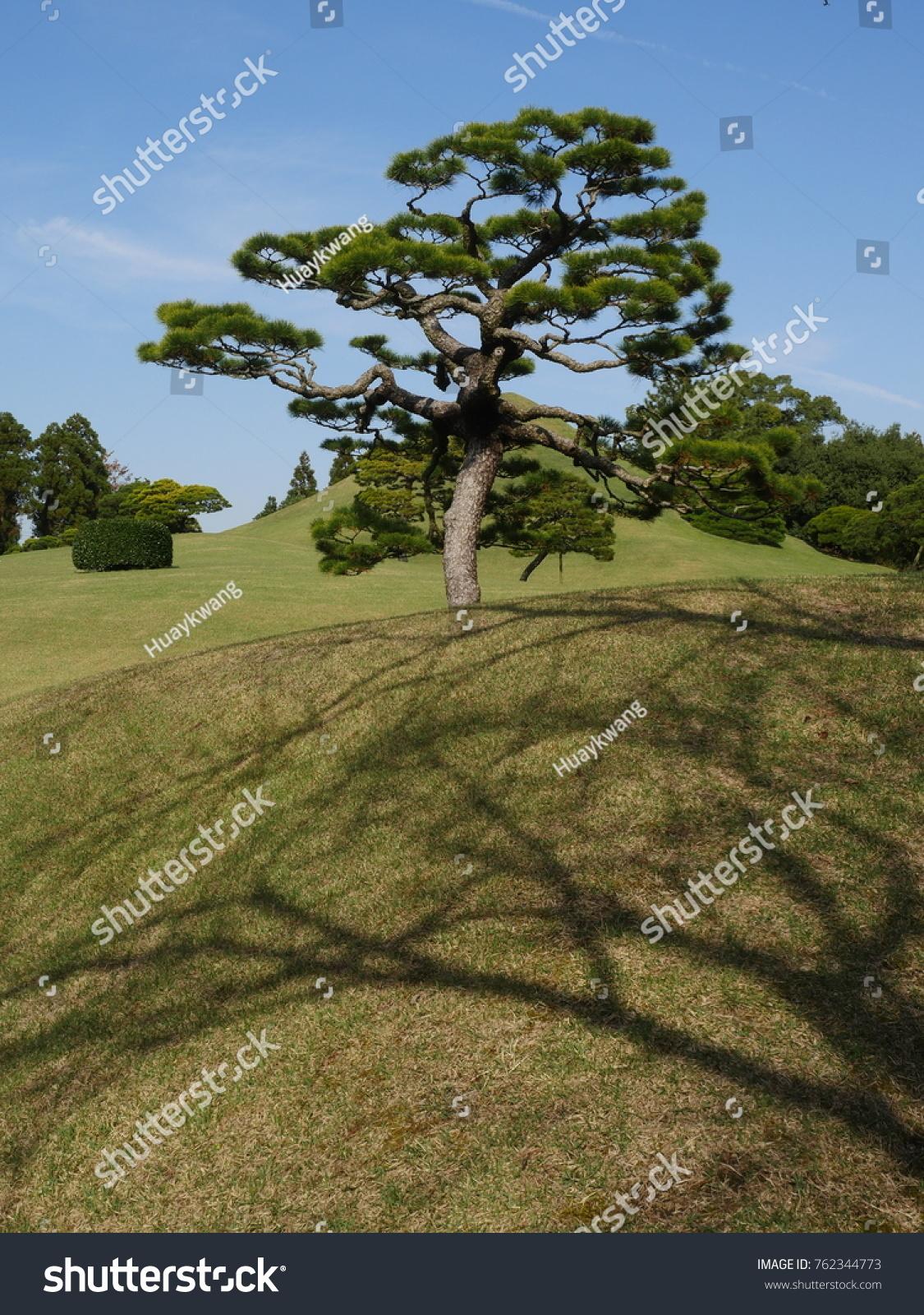Beautiful Japanese Black Pine Tree Suizenji Stock Photo (Royalty ...