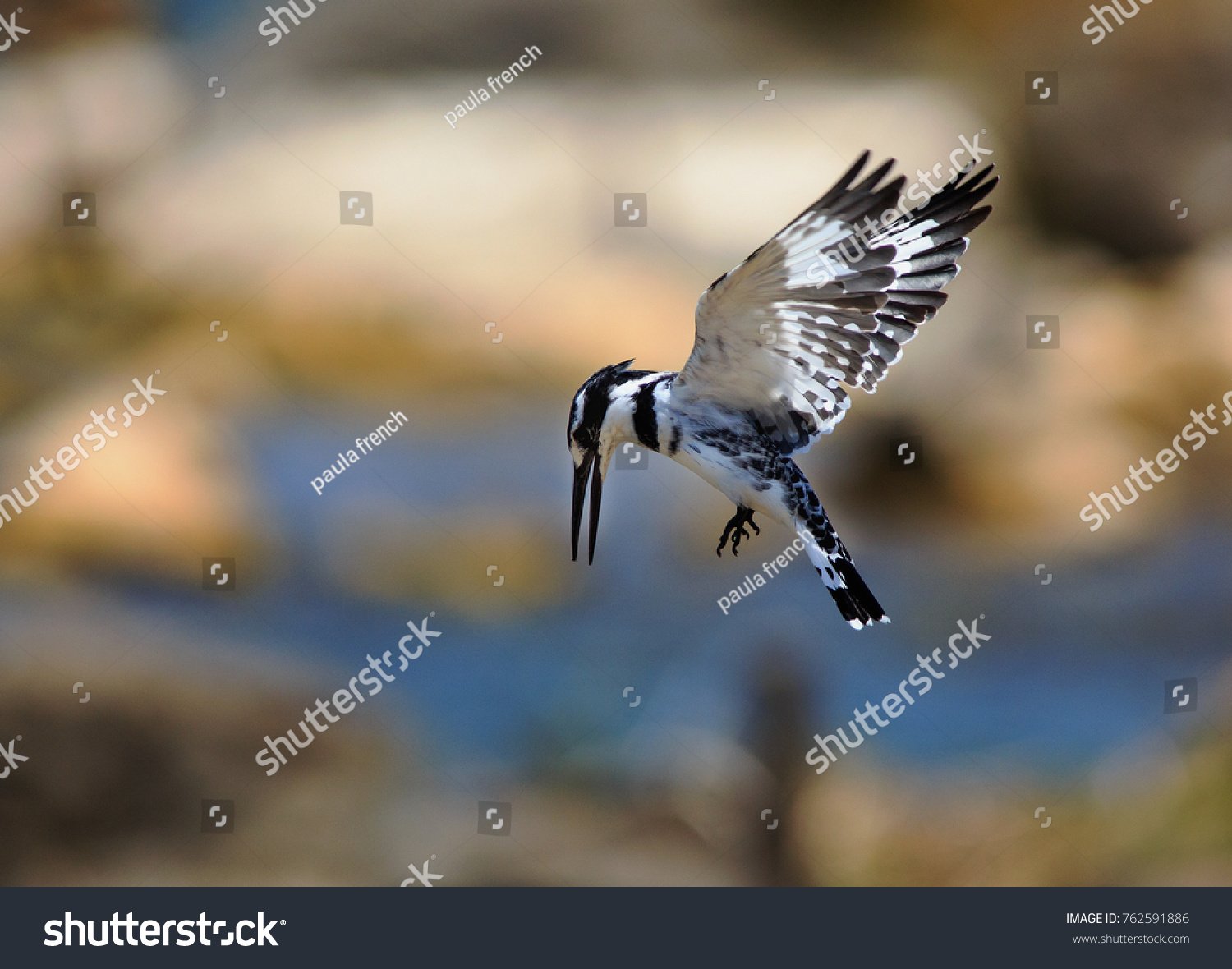 stock-photo-pied-kingfisher-inflight-wit