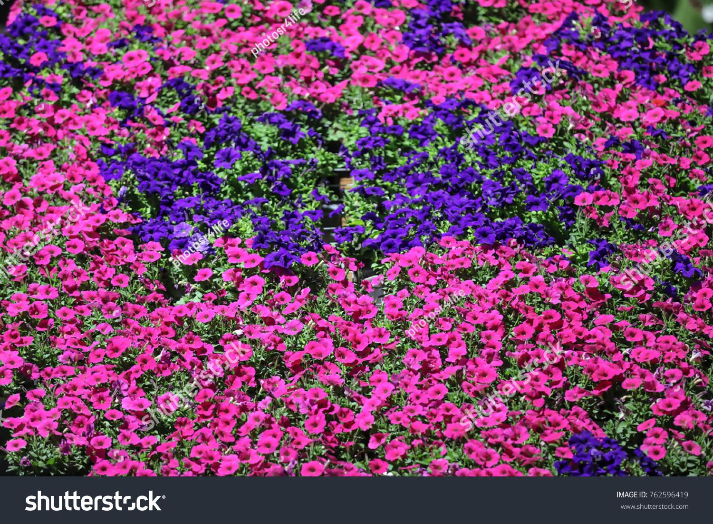 Dubai uae 07 november 2017 petunias stock photo royalty free dubai uae 07 november 2017 petunias are the worlds most beautiful flower izmirmasajfo